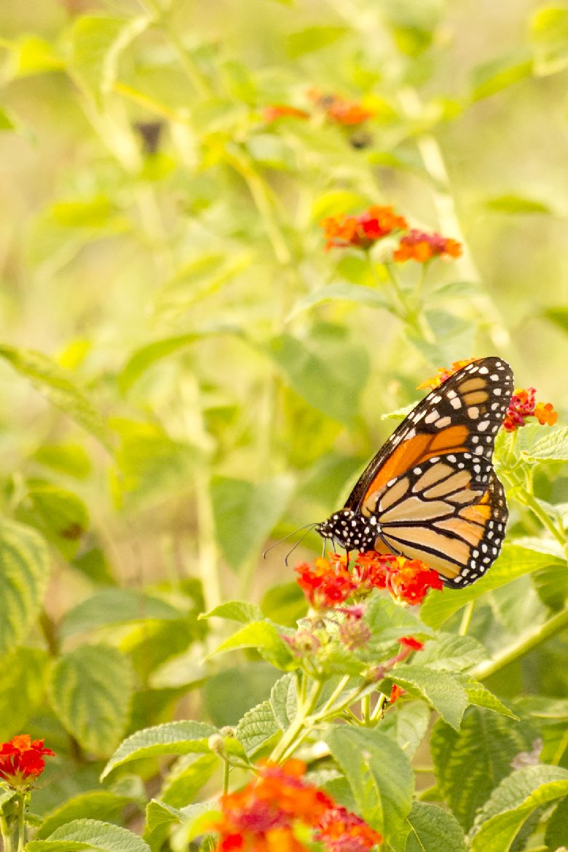 butterfly ashton morris