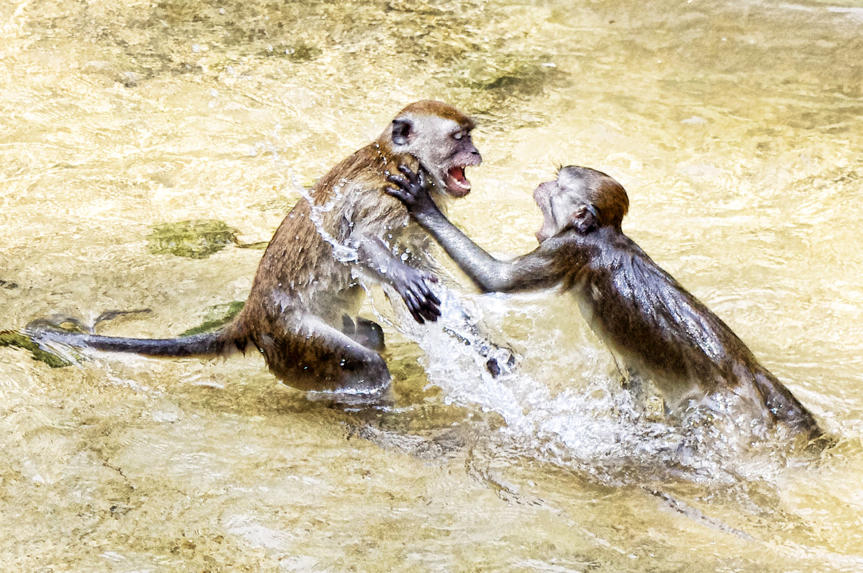 wild monkeys fighting ashton morris
