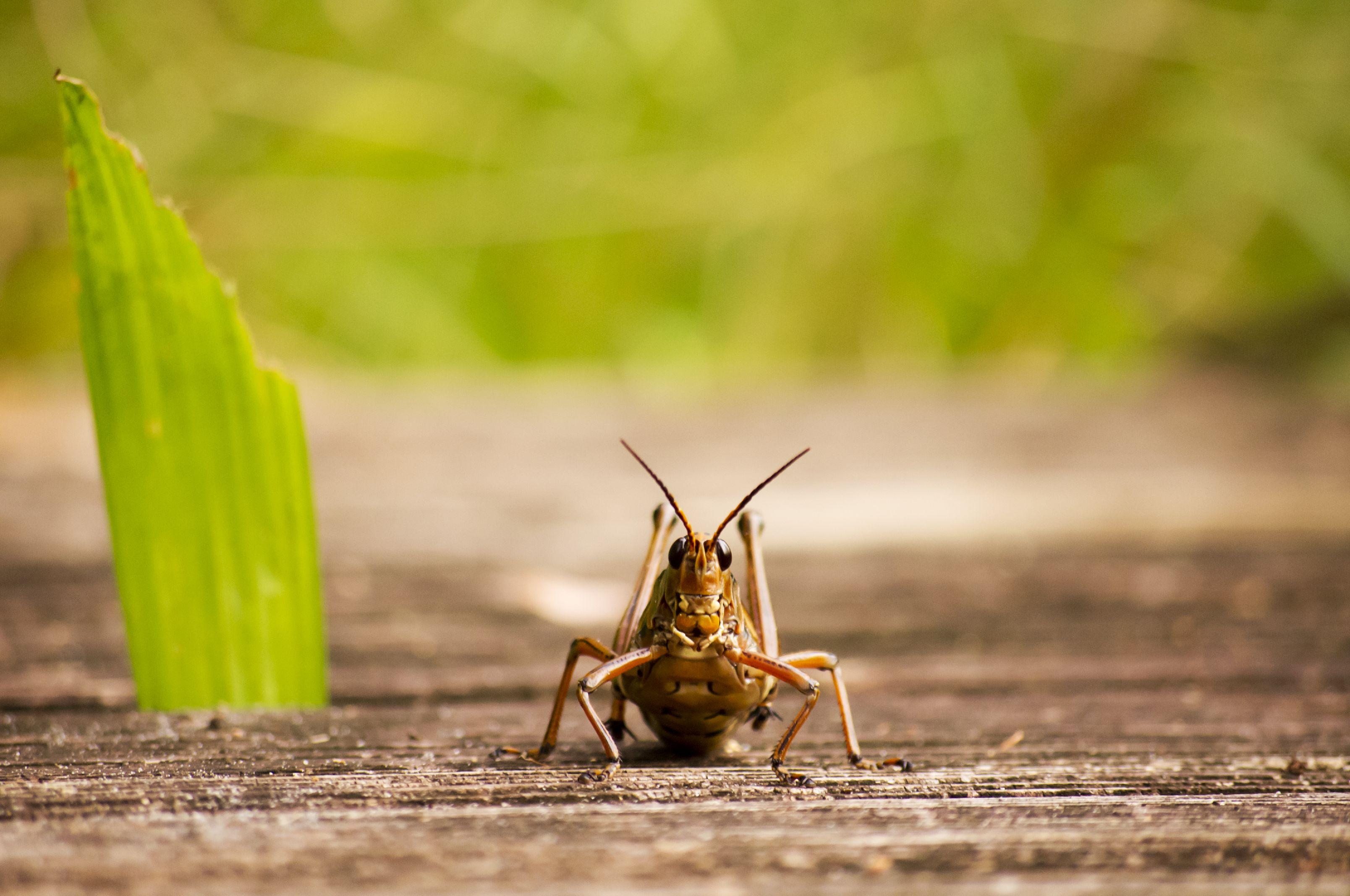 grasshopper ashton morris