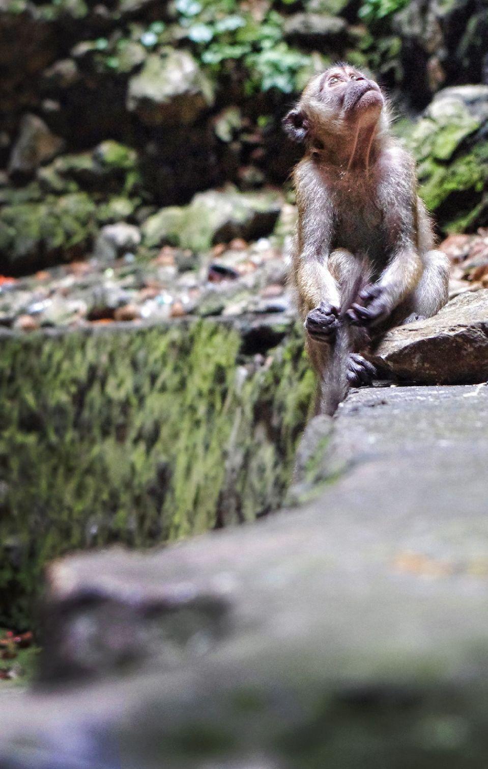 monkey comtemplating ashton morris